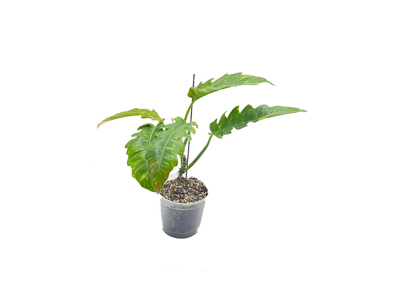 Philodendron Narrow Ring of Fire
