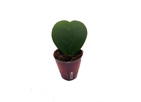 V'Day Hoya Kerri Heart