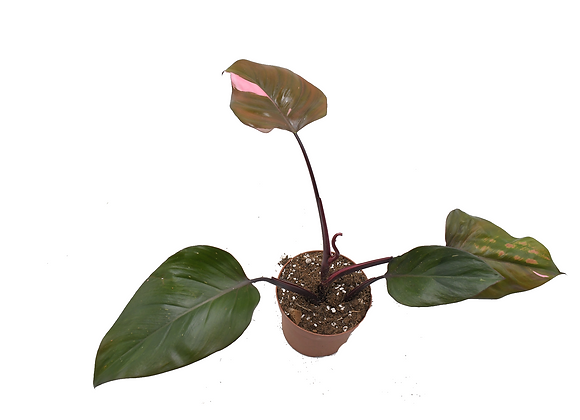 Philodendron Pink Princess 012