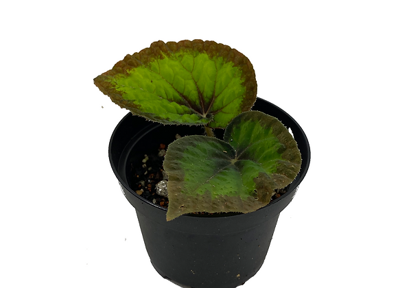Begonia Green Goddess