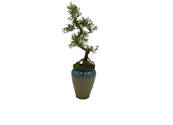 Serresia Bonsai