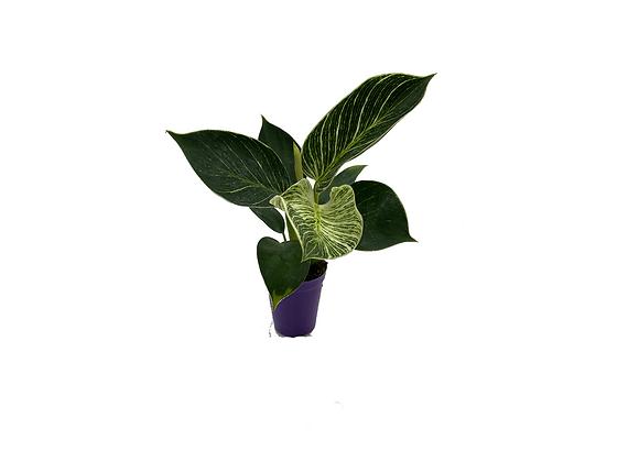 Mini Philodendron Birkin