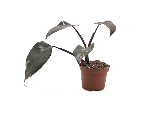 Philodendron Pink Princess 013