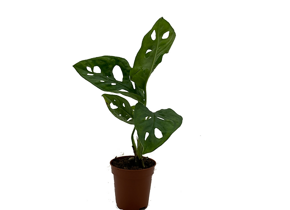 Mini Monstera adansonii