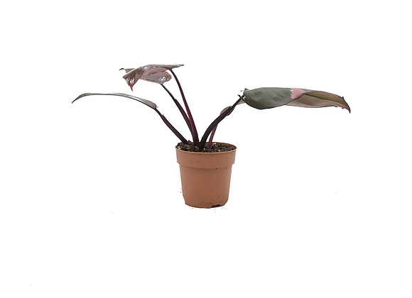 Philodendron Pink Princess 009