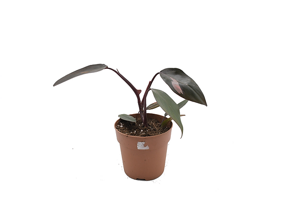 Philodendron Pink Princess 005