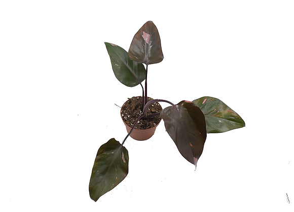 Philodendron Pink Princess 016