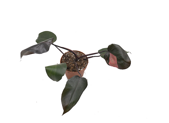 Philodendron Pink Princess 010
