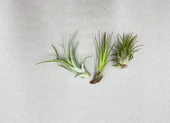 3 x Assorted Airplant