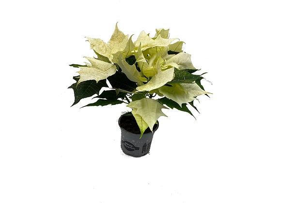 Premium  Poinsettia Alaska w giltter