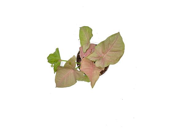 Syngonium Pink Spot