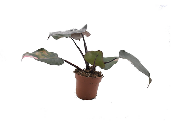 Philodendron Pink Princess 017