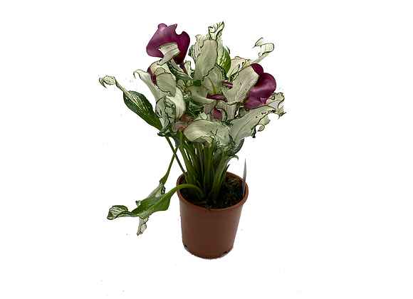 Zantedeschia Frozen Queen