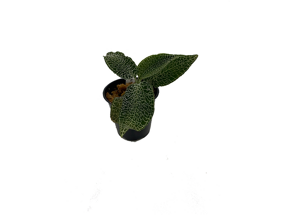 Anoectochilus sp. (green type)