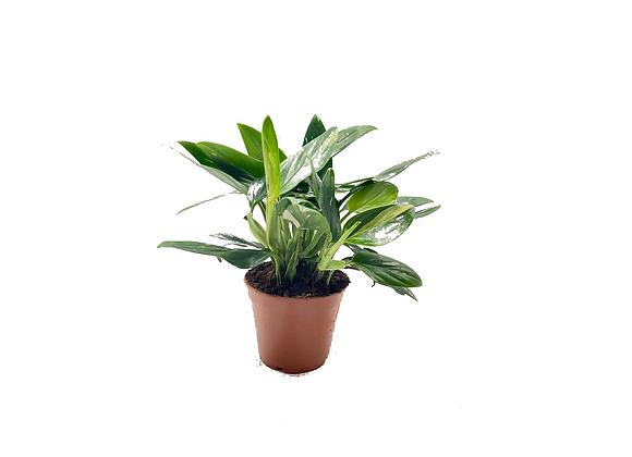 Monstera standleyana variegata