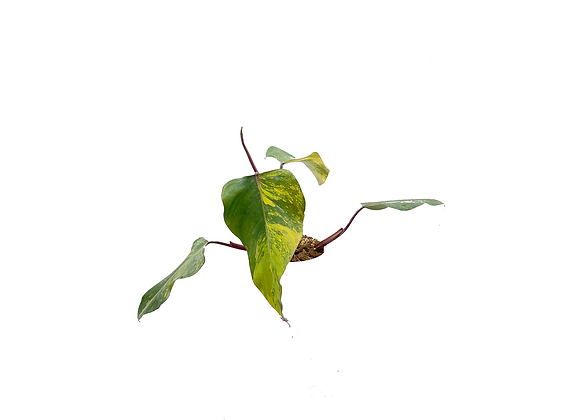 Philodendron Strawberry Shake 002