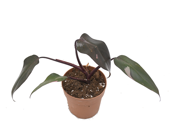 Philodendron Pink Princess 008