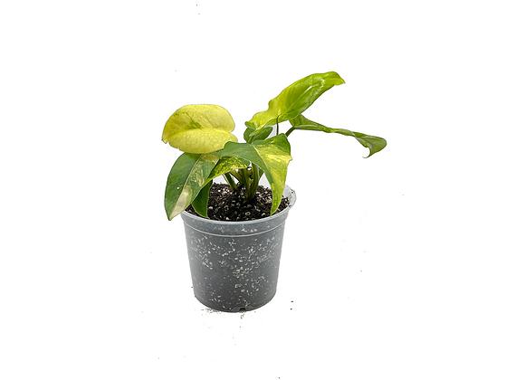 Philodendron Domesticum Variegata 003