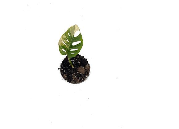 Monstera adansonii variegata aurea 012