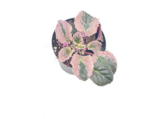 Saintpaulia African Violet Variegata