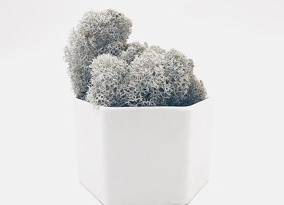 Reindeer moss Grey