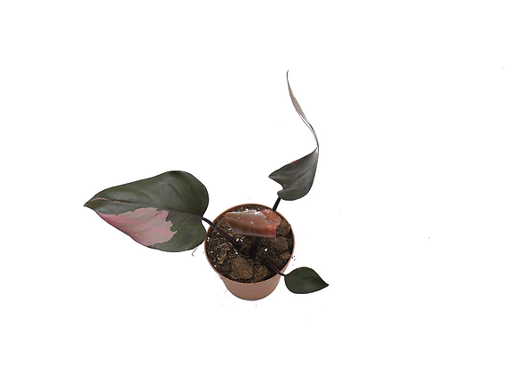 Philodendron Pink Princess 003