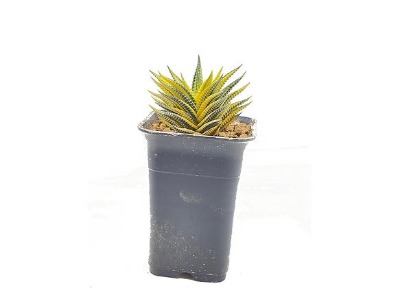 Haworthia Limfolia Variegata