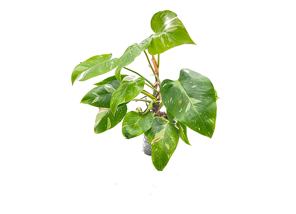 Philodendron Pink White Princess 458