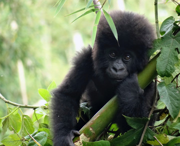 Baby Gorilla.jpeg