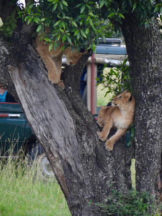 Tree Climbing Lions  Maasai Mara.jpg