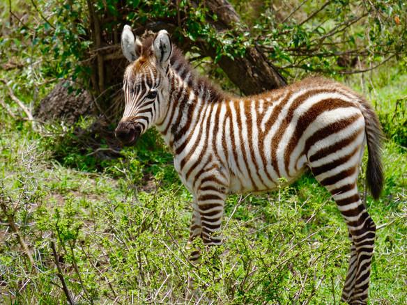 Baby Zebra.jpeg