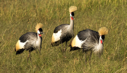 Gray-Crowned Crane.jpg
