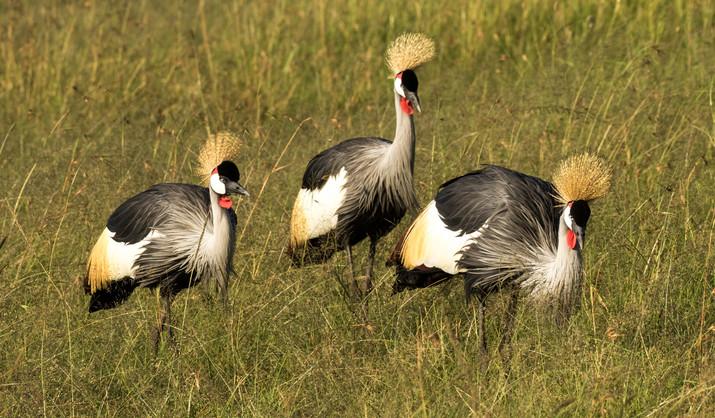 Gray-Crowned Crane.jpg