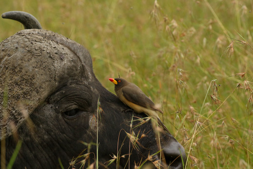 Cape Buffalo.jpg