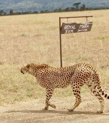 Cheeta at Royal Mara.jpg