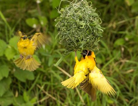 Weaver bird.jpg