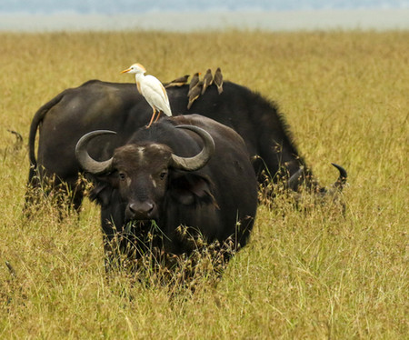 Cattle Egret on Cape Buffalo in the Maasai Mara Conservancy.jpg