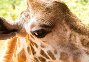 Giraffe close-up.jpg