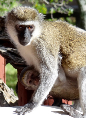 Vervet Monkey and baby.jpeg