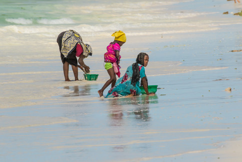Harvesting seaweed off Zanzibar.jpg