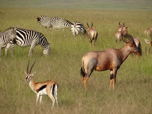 Thompson Gazelle, Zebra and Topi in North Conservancy Maasai Mara