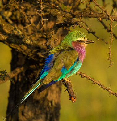 Lilac-breasted Roller bird.jpg
