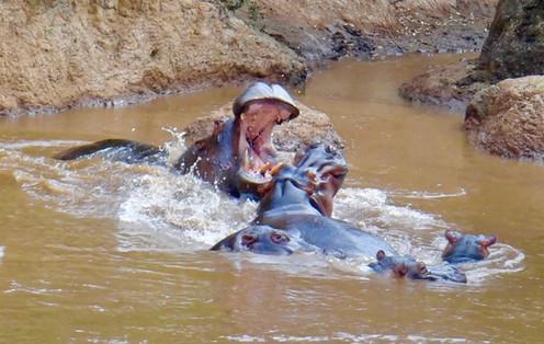 Hippos in Mara River at the Royal Mara