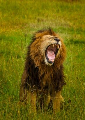 Male Lion roaring.jpg