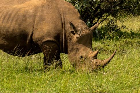 White Rhino. Bob Pool.jpg