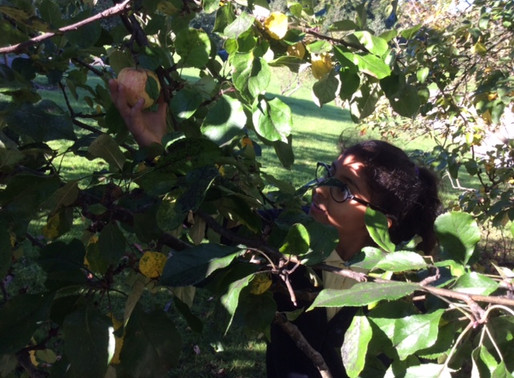 Tulip Class (Y5) have been collecting apples while learning about harvest.