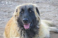 Keemun da Ponta da Pinta - Cão da Serra da Estrela