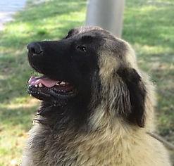 Sasha - Cão da Sera da Estrela