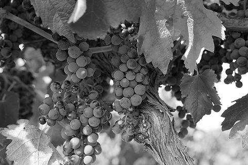 langhorne-creek-grapes-advanced-watertek
