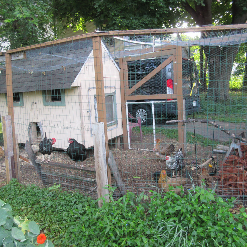 Hen and a henhouse in the chicken coop surrounded by fencing.